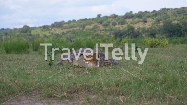 Close up from a crocodile laying in the grass at Moremi Game Reserve, Botswana