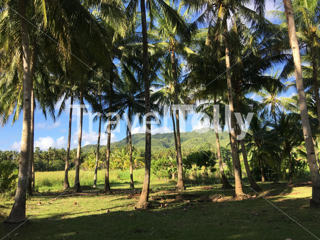 Farm land with palmtrees landscape in the morning of Anda Bohol the Philippines