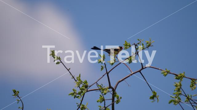 Juvenile pin tailed whydah on a tree branch