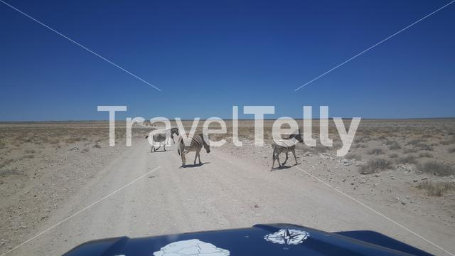 Zebras on the road at Etosha National Park in Namibia