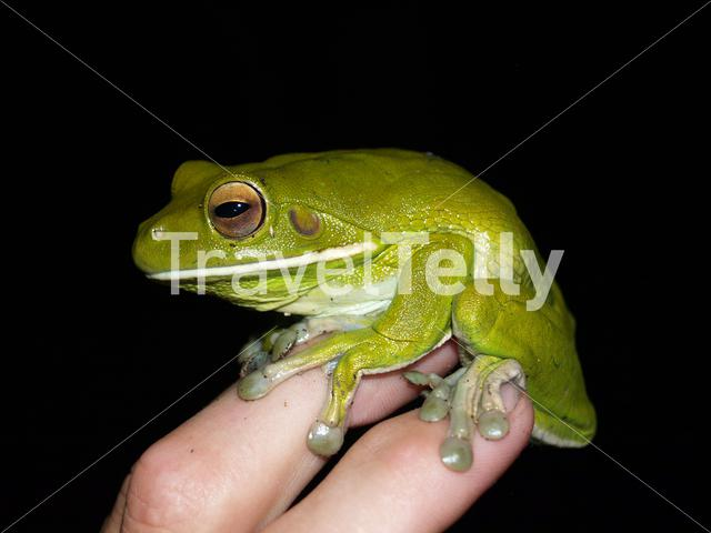 Giant White-lipped Tree Frog on a hand