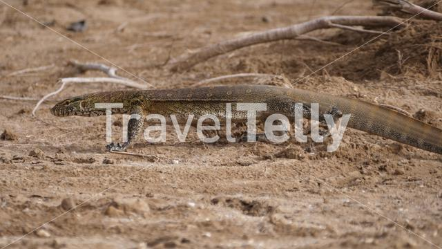 Monitor lizard in Diawling National Park, Mauritania