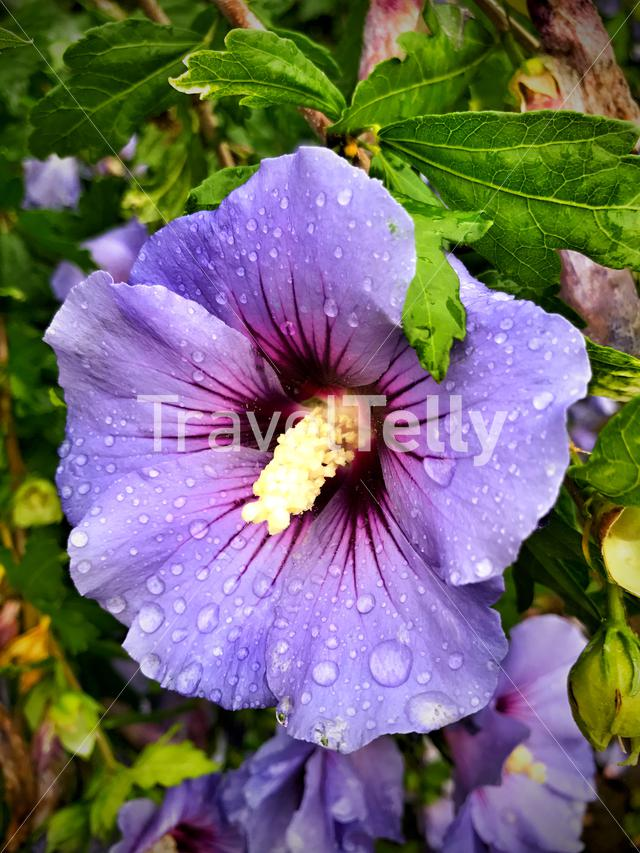 Hibiscus rosa-sinensis or China rose with raindrops
