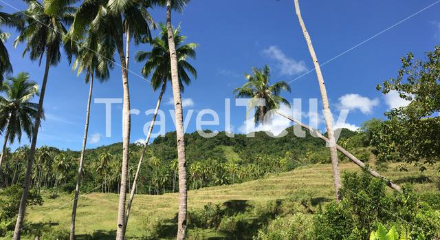 Rice field with palmtrees panorama in the hills of Anda Bohol the Philippines