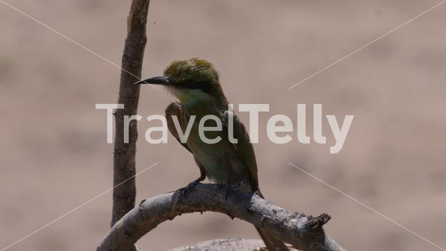 Bee-eater on a tree branch
