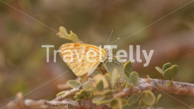 Yellow butterfly on a plant at Diawling National Park in Mauritania Africa