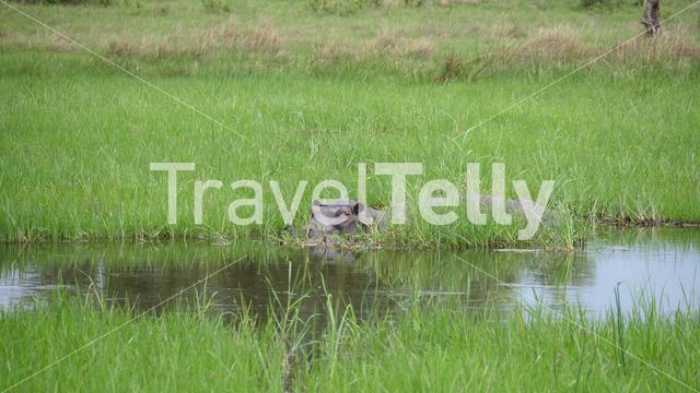 Hippo in a lake inbetween the grass