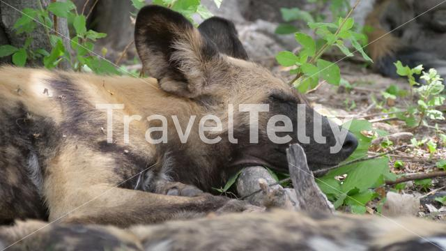 African wild dogs resting on a tree branch