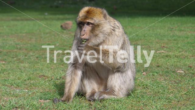 Barbary ape at Cèdre Gouraud Forest in the Middle Atlas Mountain Range of Morocco