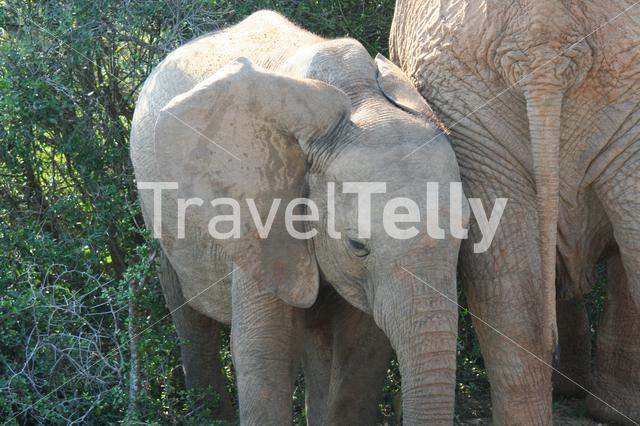 Baby elephant at the Eastern Cape in South Africa