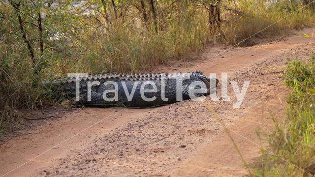 Nile crocodile laying on a dirt road in Waterberg South Africa