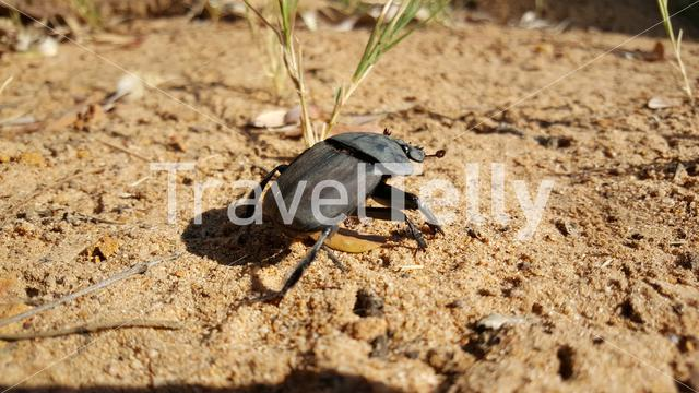 Dung beetle in Entabeni Nature Reserve South Africa