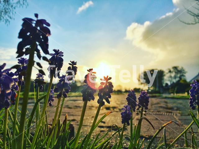 Photo of some grape hyacinths during the morning sunrise.