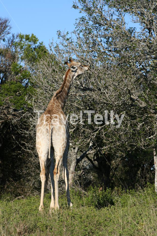 Giraffe in South African landscape eating