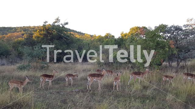 Herd of impalas in waterberg game park south africa