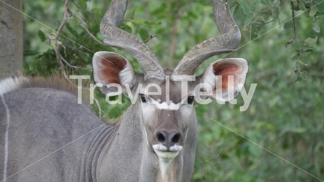 Close up from a Greater kudu male