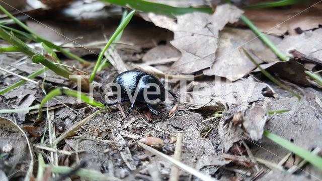 Beetle in the forest of the Edese Bos The Netherlands