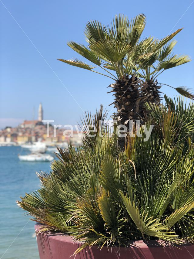 Palm tree plant with the old town of Rovinj in the background