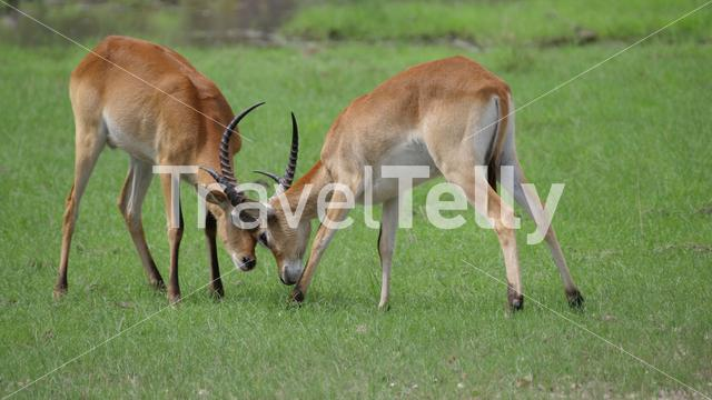Two Lechwe locking horns and fight at Moremi Game Reserve in Botswana