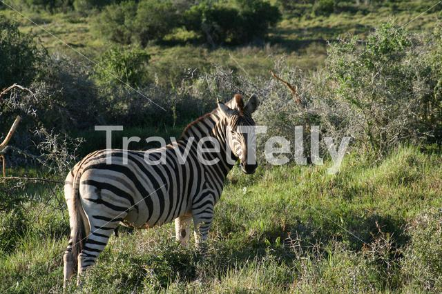 Zebra at the savanna in South Africa