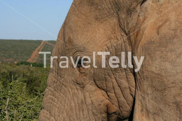Close up from an elephant head in South Africa
