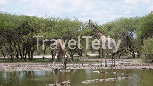 Two giraffe drinking from a waterpool in Central Kalahari Game Reserve, Botswana