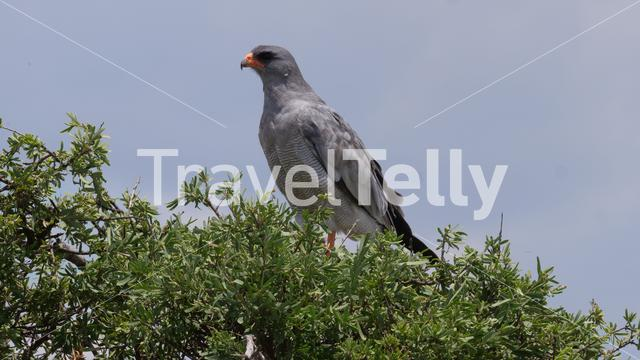 Pale chanting goshawk in a tree at Central Kalahari Game Reserve in Botswana