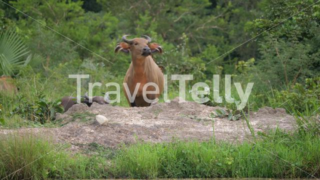 Water buffalo walks on to a rock at Kran National Park in Togo