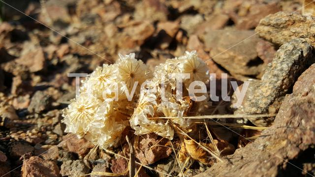 Close up from a flower in Reserva de Namibe, Angola
