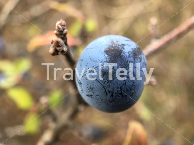 Close up from a blue berry in Bulgaria