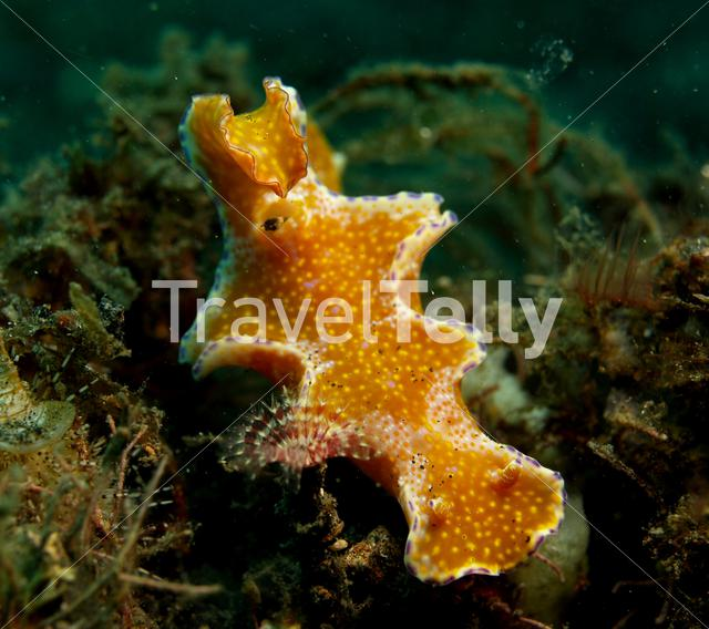 Slender T-bar Nudibranch in Lembeh Sulawesi Indonesia