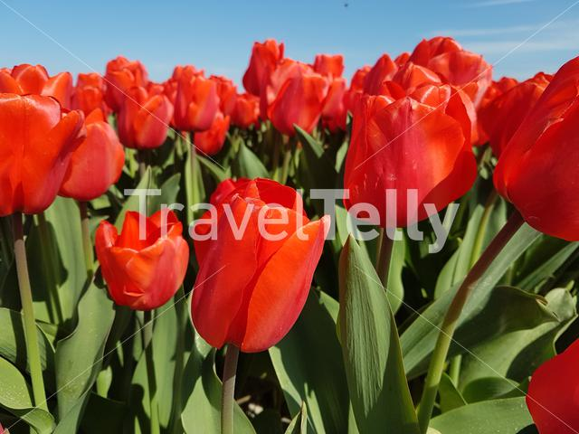 Tulips in bloom in holland
