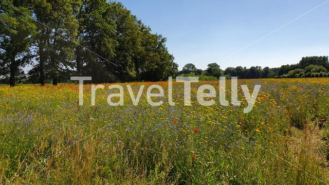 Wild flowers in Dutch landscape