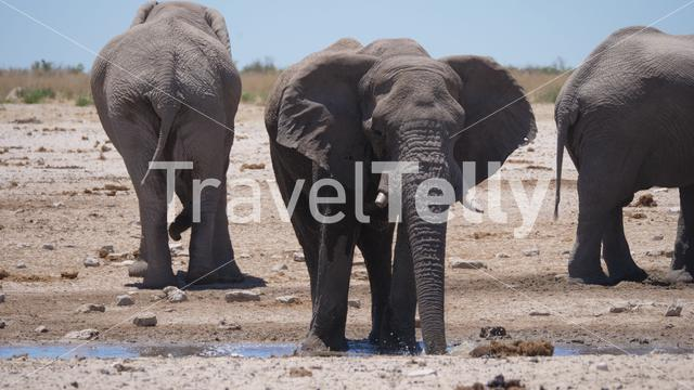 Elephant drinks water from an almost dry waterhole in Etosha National Park, Namibia