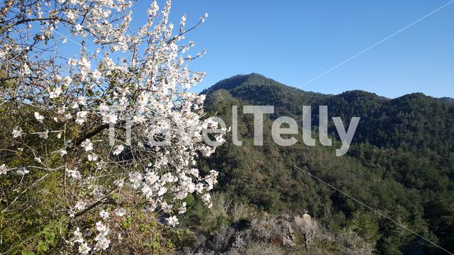 Apple blossom tree in serra d espada  natural park Spain