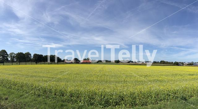 Yellow flowers field panorama around Stadtlohn in Germany