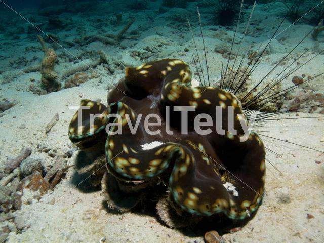 Giant clam in Koh Chang Thailand