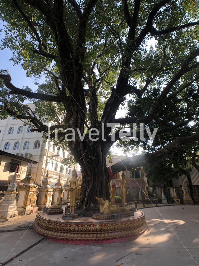 Sacred fig tree (Bo Tree) at Vat Haysoke a buddhist temple in Vientiane Laos