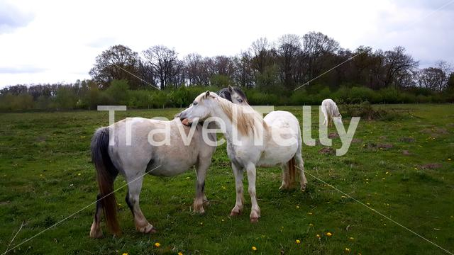 Two white wild horses in love