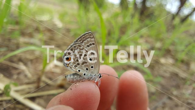 Common Blue butterfly on a hand at Bao Bolong Wetland Reserve a National park in Gambia, Africa