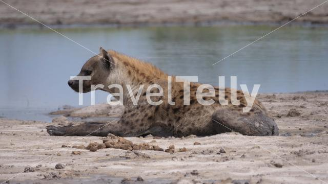 Spotted hyena laying near a pond