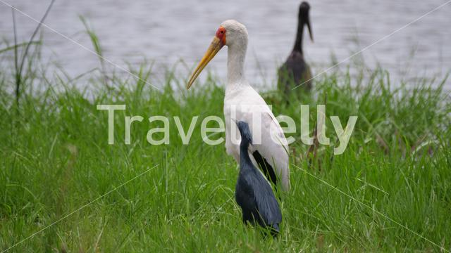 Yellow-billed stork and a black heron together at Moremi Game Reserve in Botswana