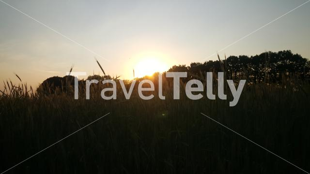 Cornfield at evening sun in the Netherlands