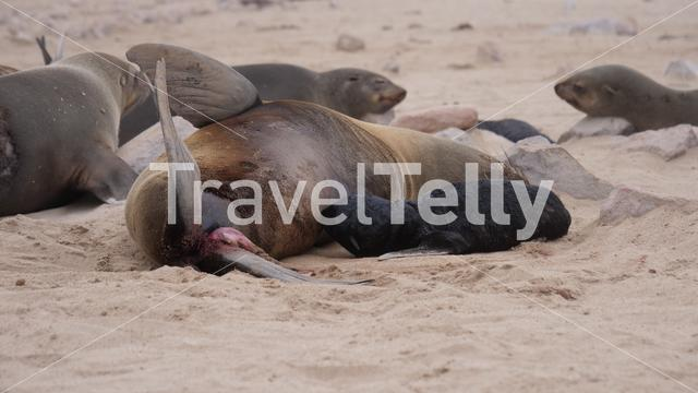 Sea lion feeding her pup at Cape Cross Seal Reserve in Namibia