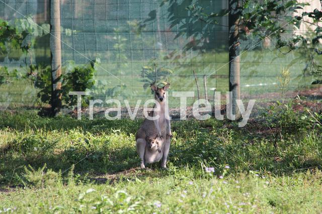 Wallaby mother with baby in Mission Beach Australia