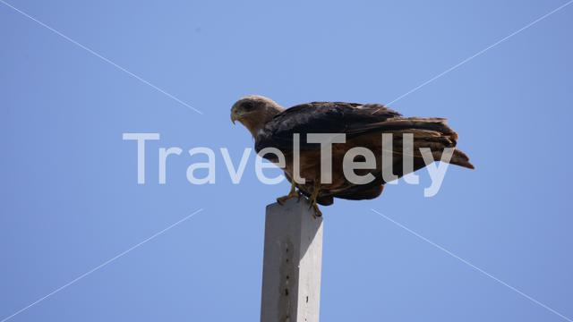 Tawny Eagle on a pole in Senegal, Africa