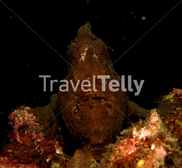 Green frogfish in Lembeh Sulawesi Indonesia