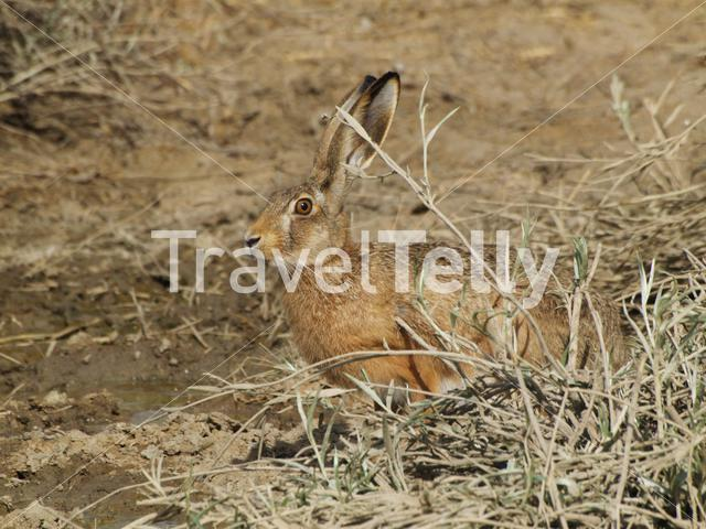 Hare in the dunes of peninsula valdes Argentina