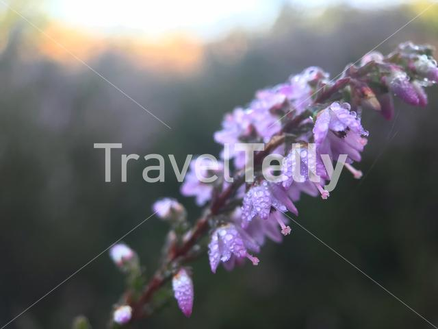 Heather with Dew drops