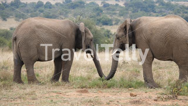 Two african elephants in Pilanesberg Game Reserve in South Africa